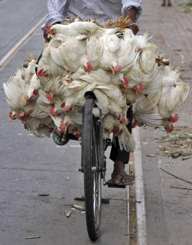 Galinhas na Índia