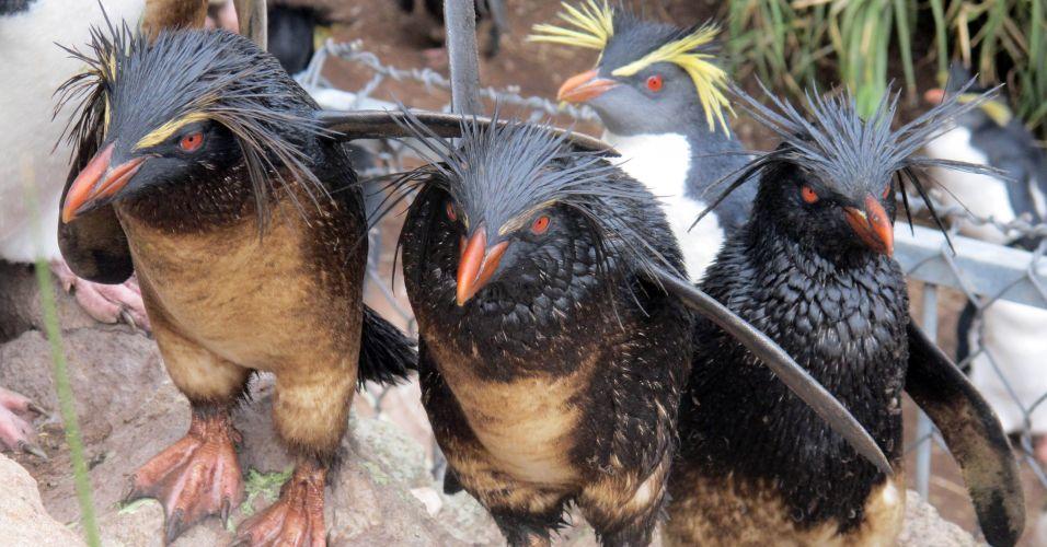 Pinguins sujos de óleo