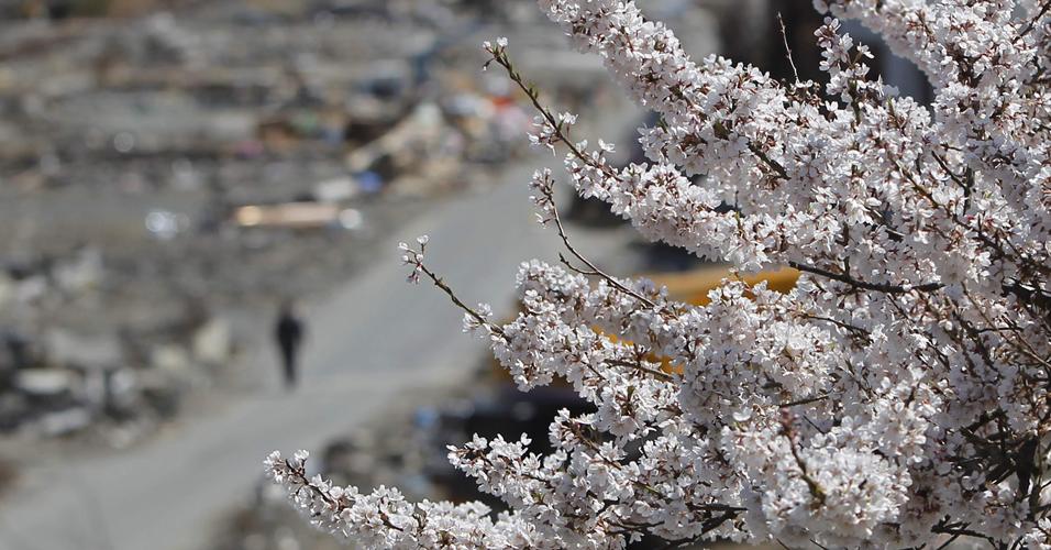 Cerejeiras em Ofunato