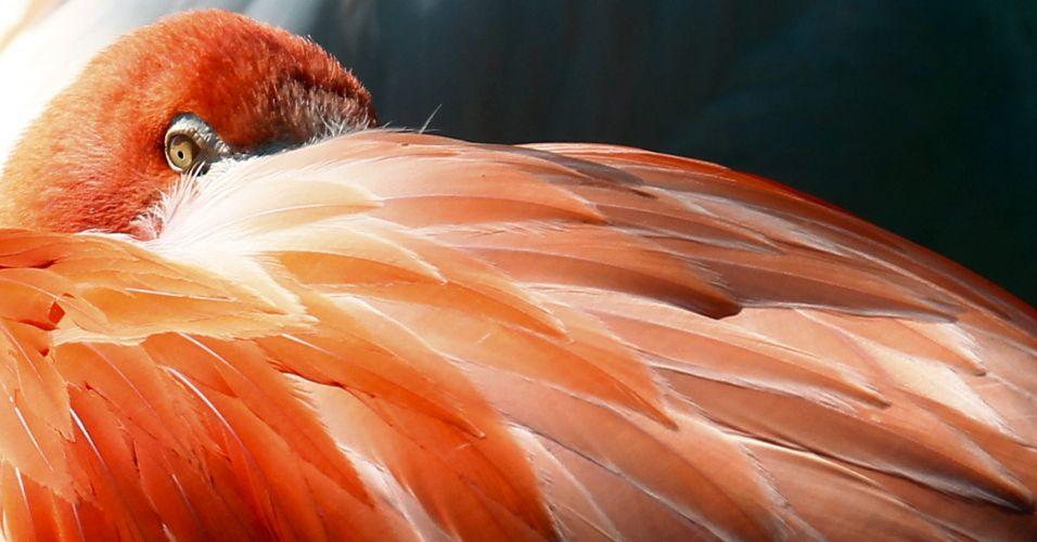 Flamingo na Alemanha