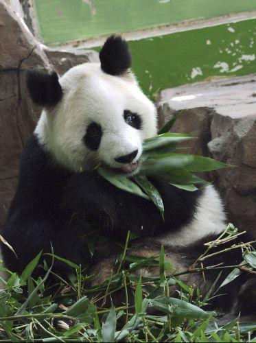 Panda morre na China