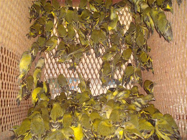 Apreensão de aves em SP