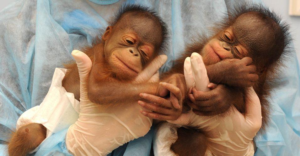 Orangotangos em Hong Kong