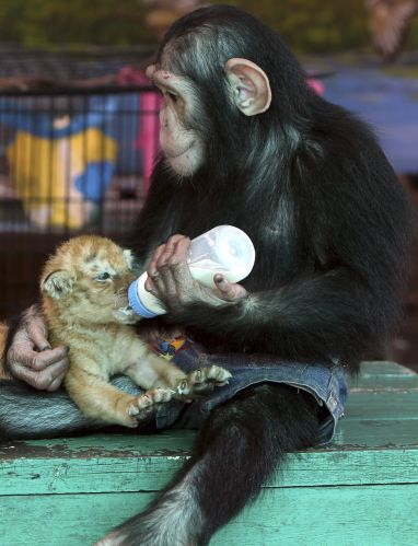 Bebê tigre