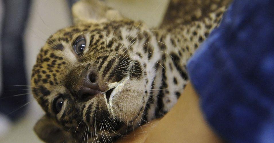 Leopardo na Eslováquia