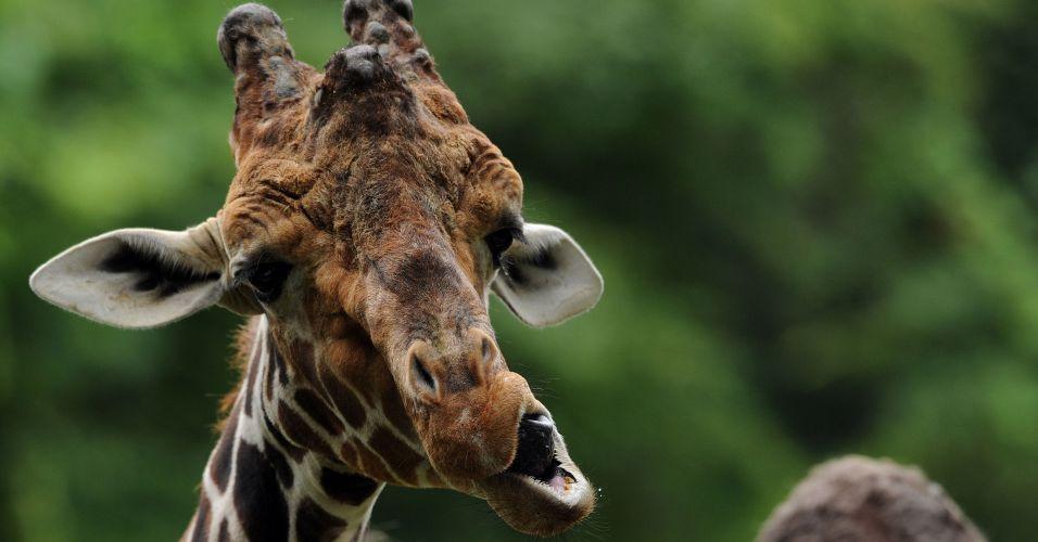 Girafa na Alemanha