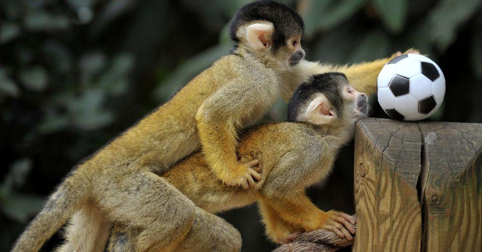 Macacos-esquilo