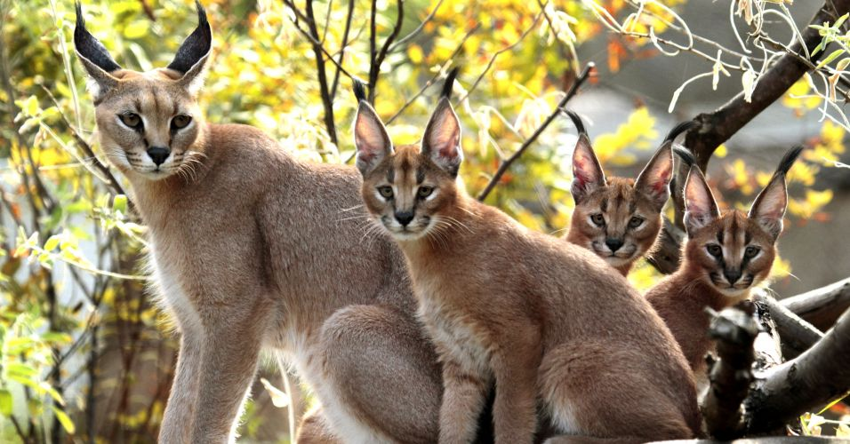Gatos-caracal
