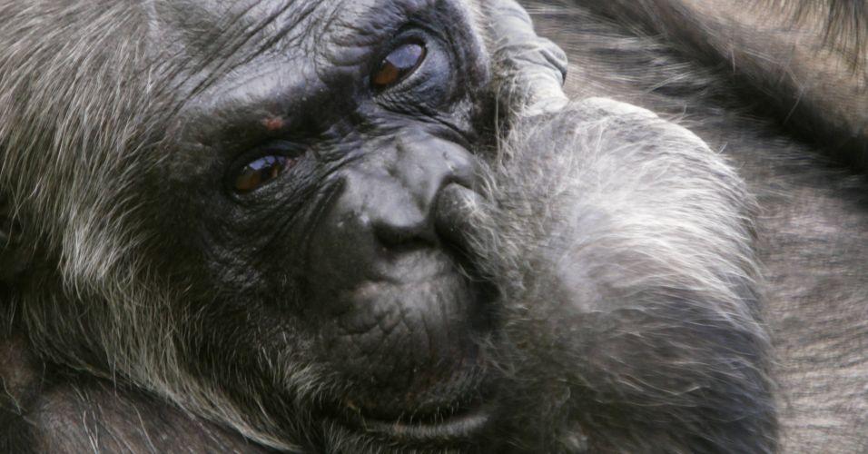 Chimpanzés aposentados