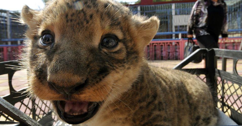 Leão bocejando
