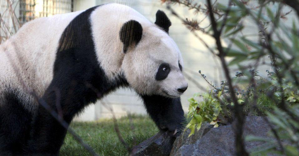 Pandas na Escócia