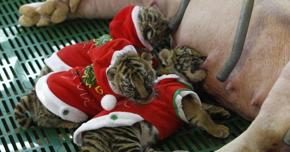 Tigres adotivos