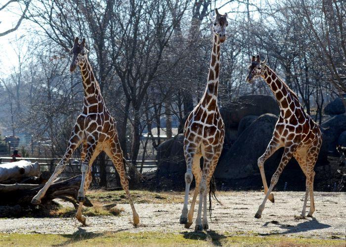 Girafas em Chicago, EUA