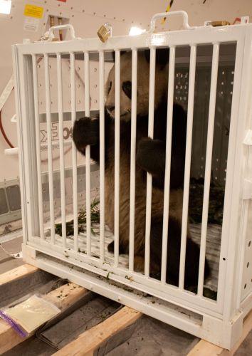 Pandas emprestados