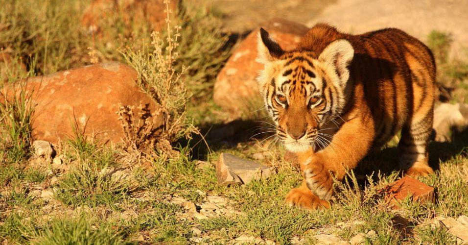 Filhote de tigre (África do Sul)