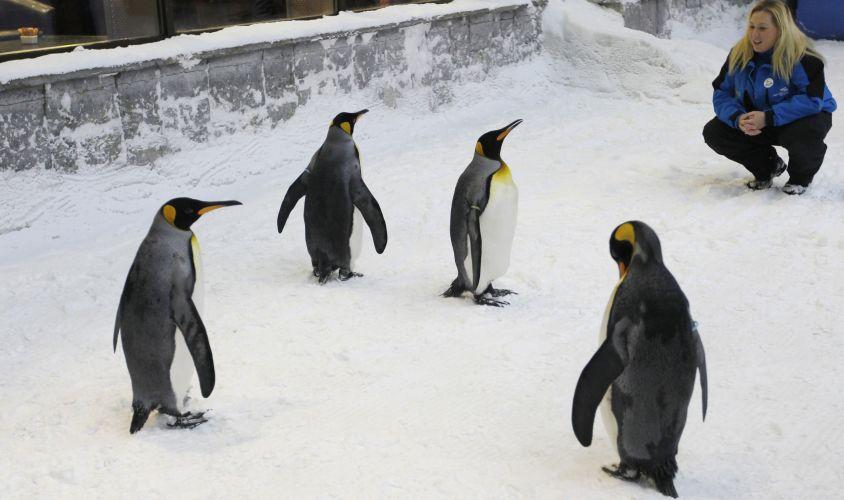Pinguins em Dubai