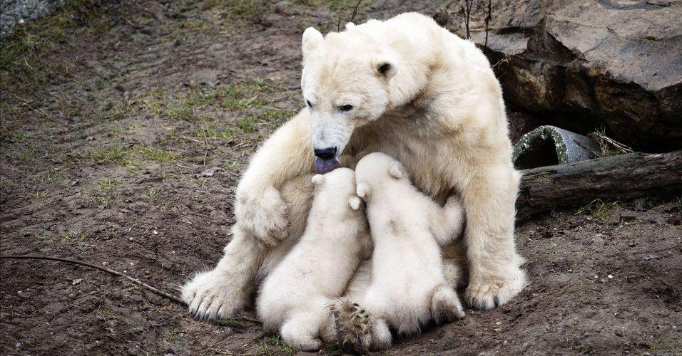 Ursos polares na Holanda