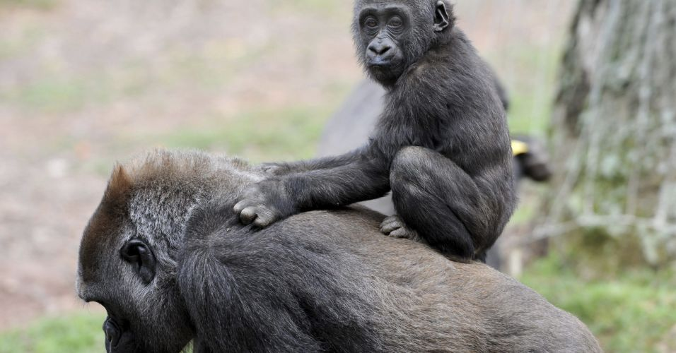 Gorilas em Atlanta