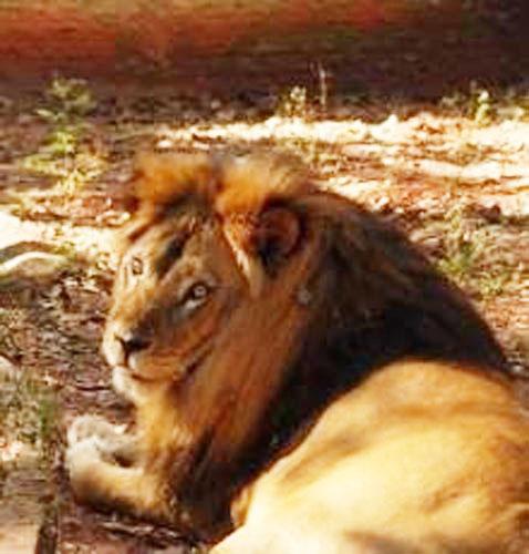 Leão Simba ganha novo lar