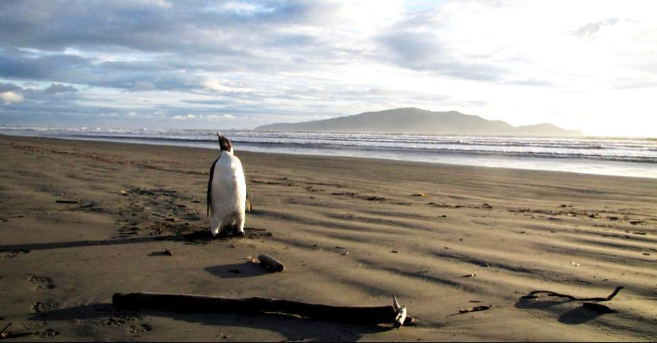 Pinguim se perde e vai parar na Nova Zelândia