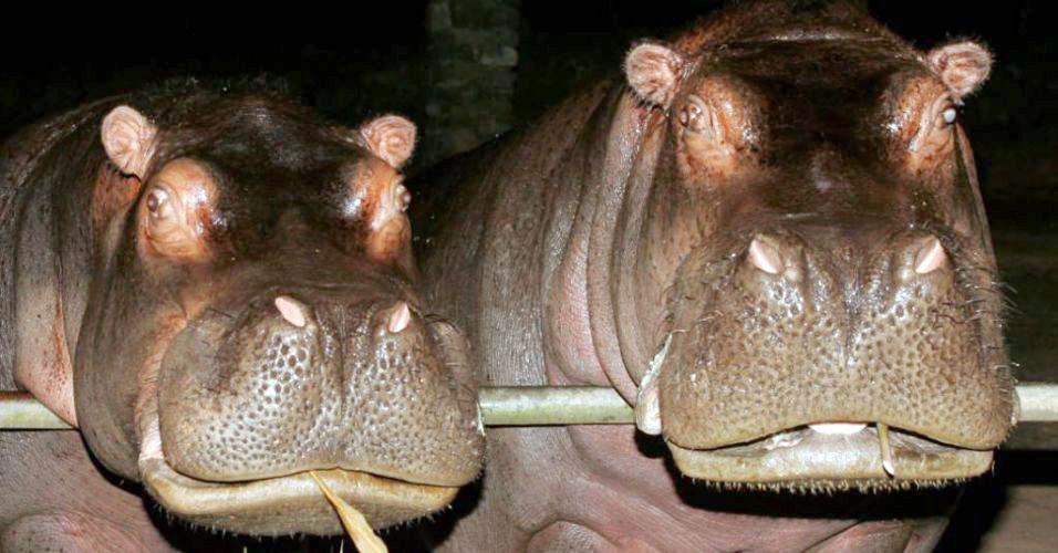 Filha da hipopótama Tetéia faz greve de fome