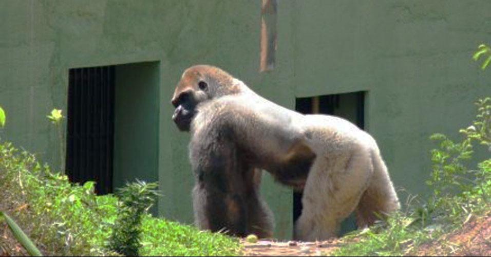 Gorila solitário ganha companheiras