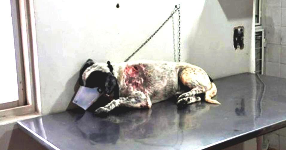 Cão Fofinho enfrenta pit bull para defender menina