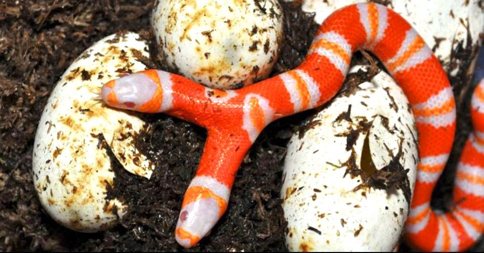 Achada cobra albina de duas cabeça
